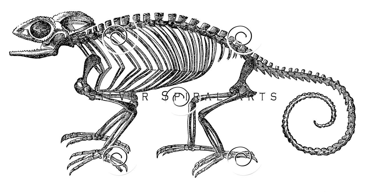 Vintage Chameleon Lizard Skeleton Illustration - 1800s Lizards Chameleons Images.