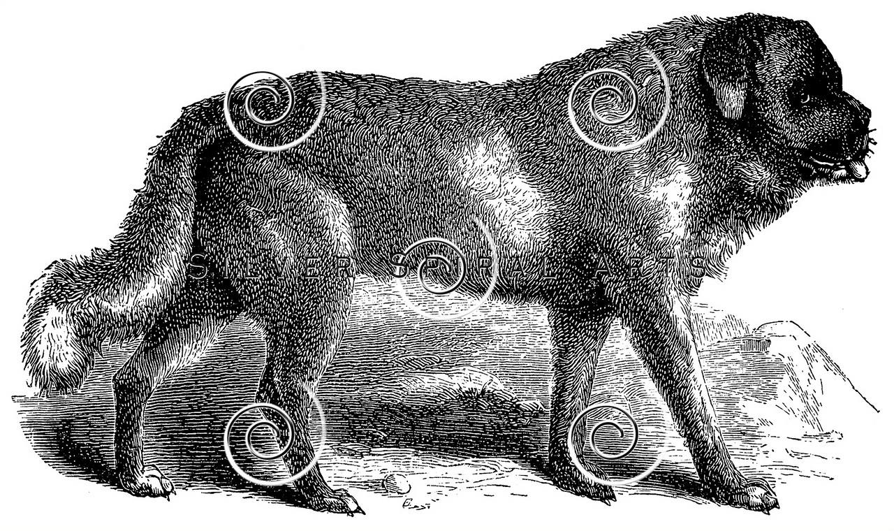 Vintage St. Bernard Dogs Illustration - 1800s Dog Images
