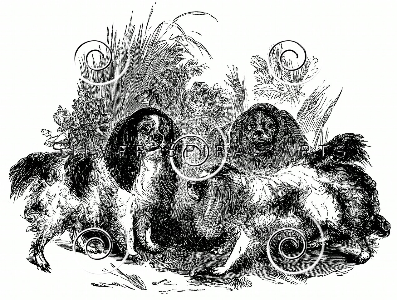 Vintage King Charles Spaniel Dogs Illustration - 1800s Dog Images