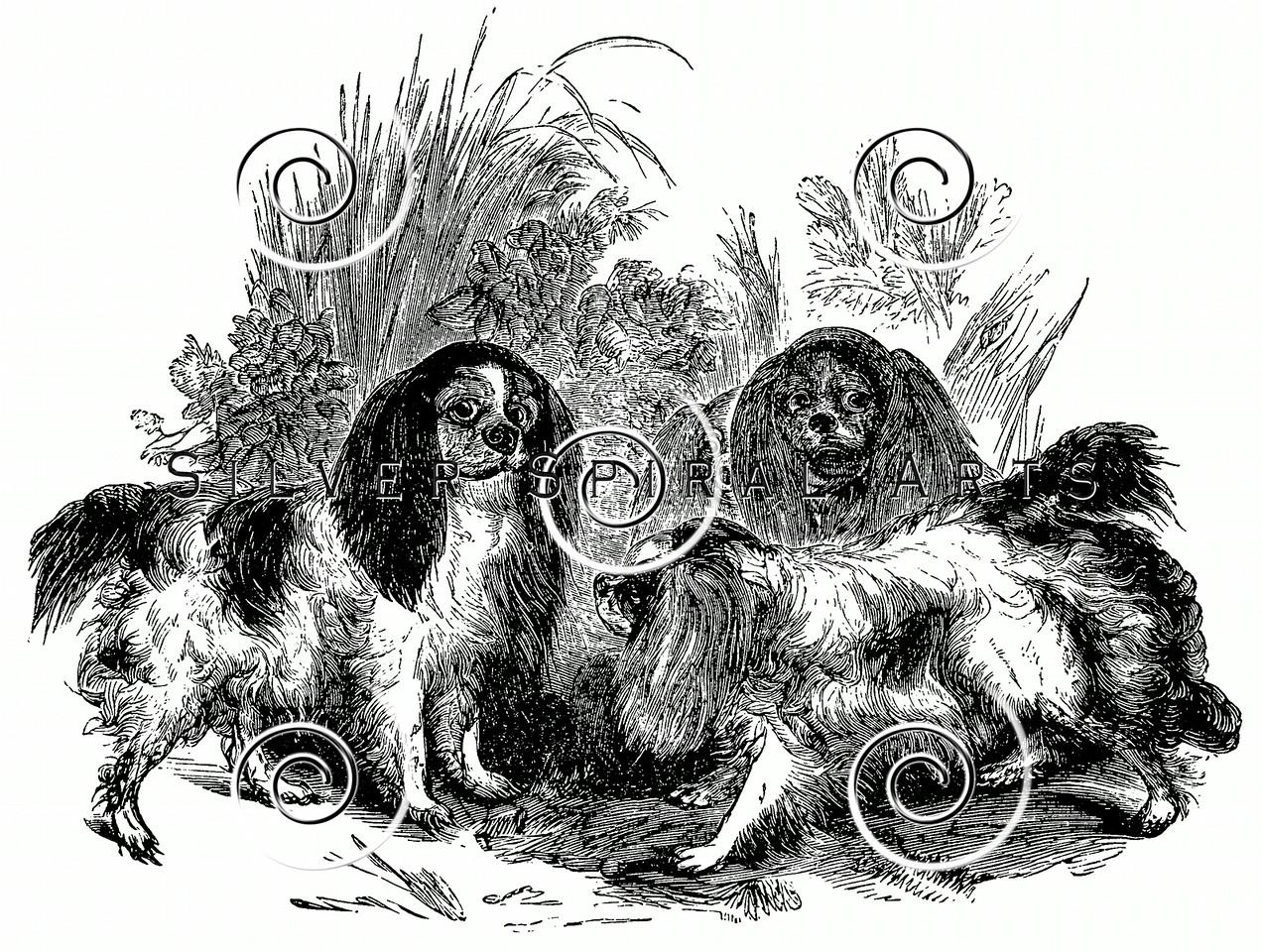 Vintage King Charles Spaniel Dogs Illustration - 1800s Dog Images