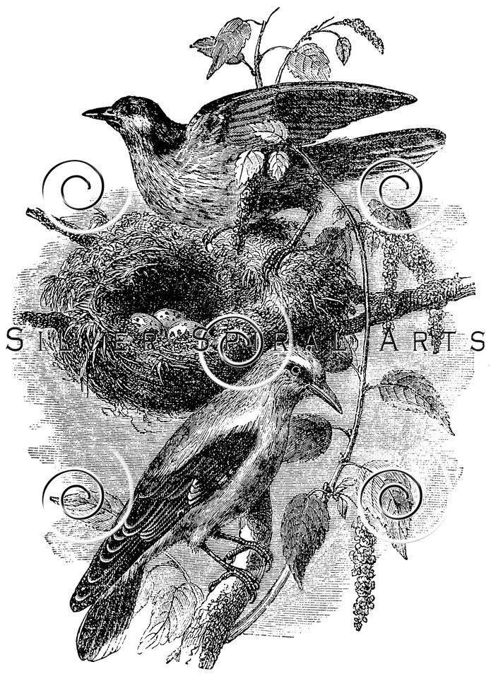 Vintage Birds Nest Illustration - 1800s Bird Eggs Images