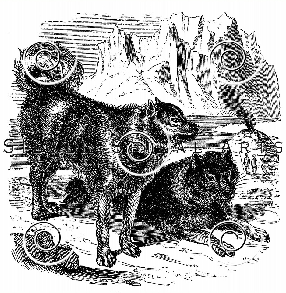 Vintage Sled Husky Dogs Illustration - 1800s Huskies Images