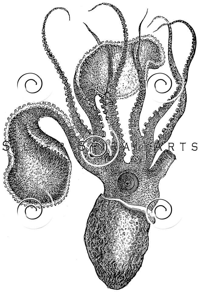 Vintage Argonaut Octopus Illustration - 1800s Marine Images