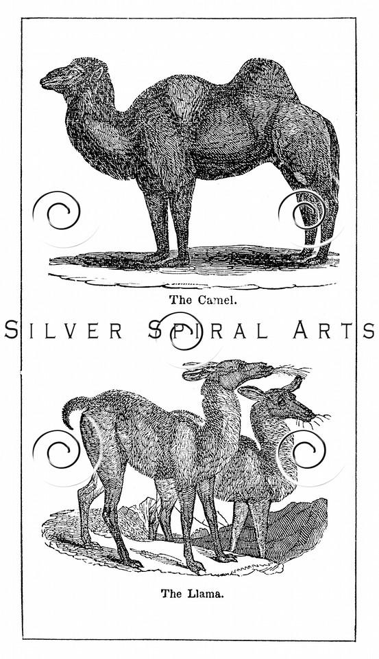 Vintage Camel Illustration - 1800s Camels Llama Images.