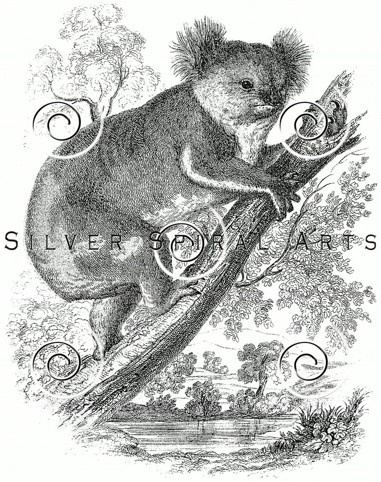 Vintage Koala Bear Illustration - 1800s Koalas Images.