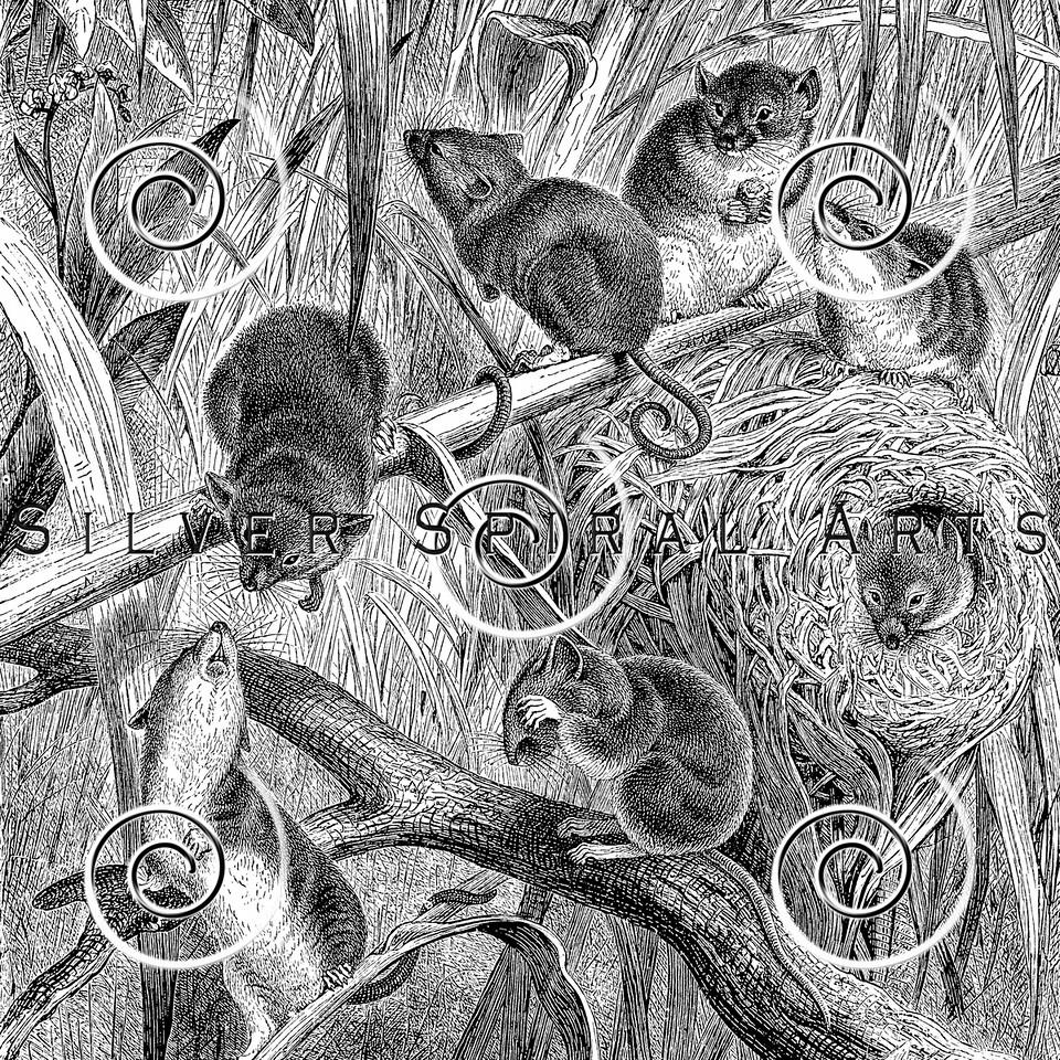 Vintage Mice Illustration - 1800s Mouse Images.