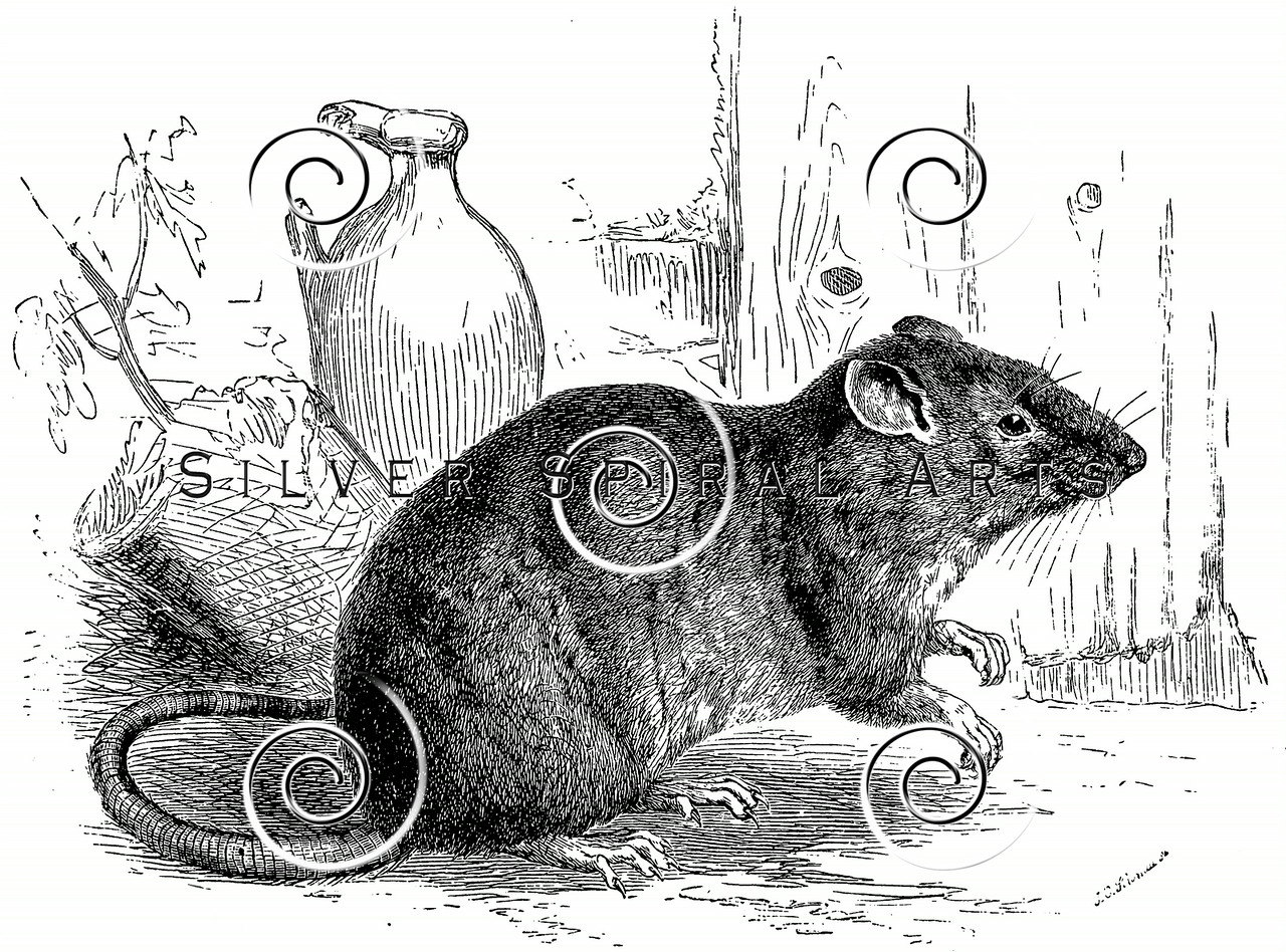 Line Drawing Rat : Royalty free stock vintage illustrations photo keywords: rat