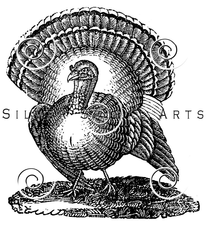 Vintage Thanksgiving Turkey Illustration - 1800s Turkeys Images.