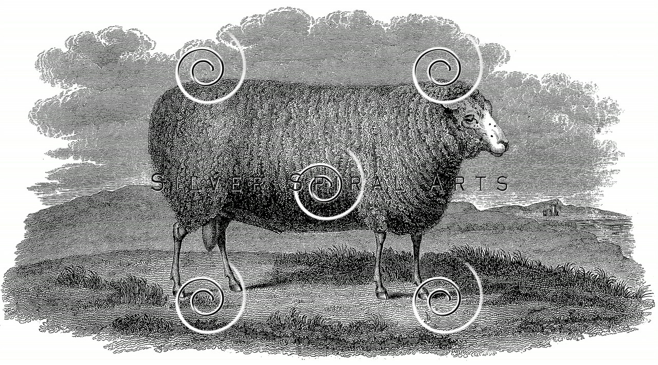 Vintage Sheep Illustration - 1800s Ewe Images.