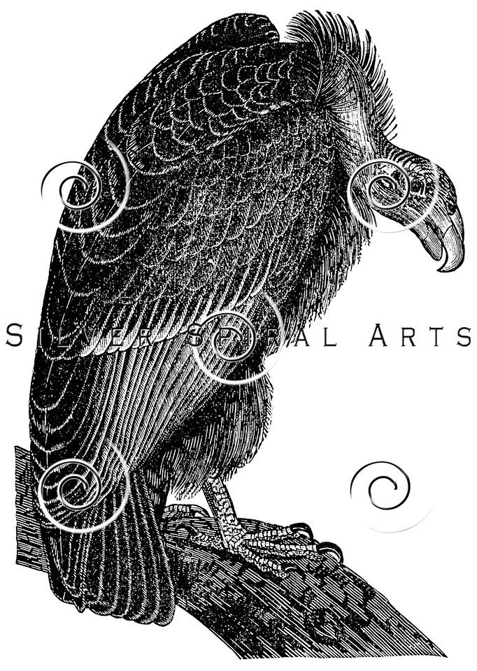 Vintage Vulture Bird Illustration - 1800s Vultures Birds Images