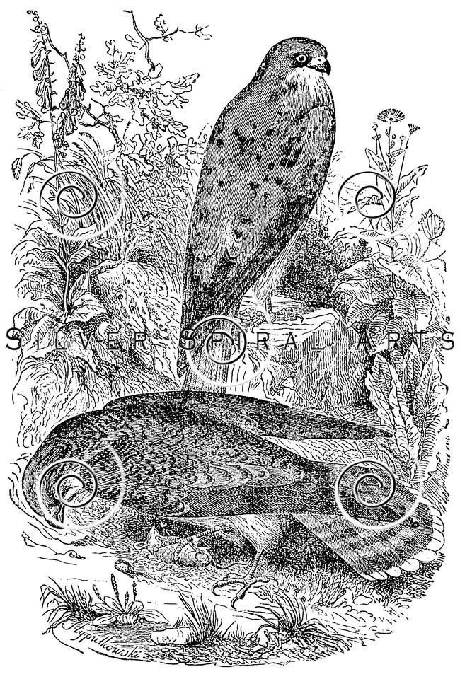 Vintage Kestrel Birds Illustration - 1800s Bird Images