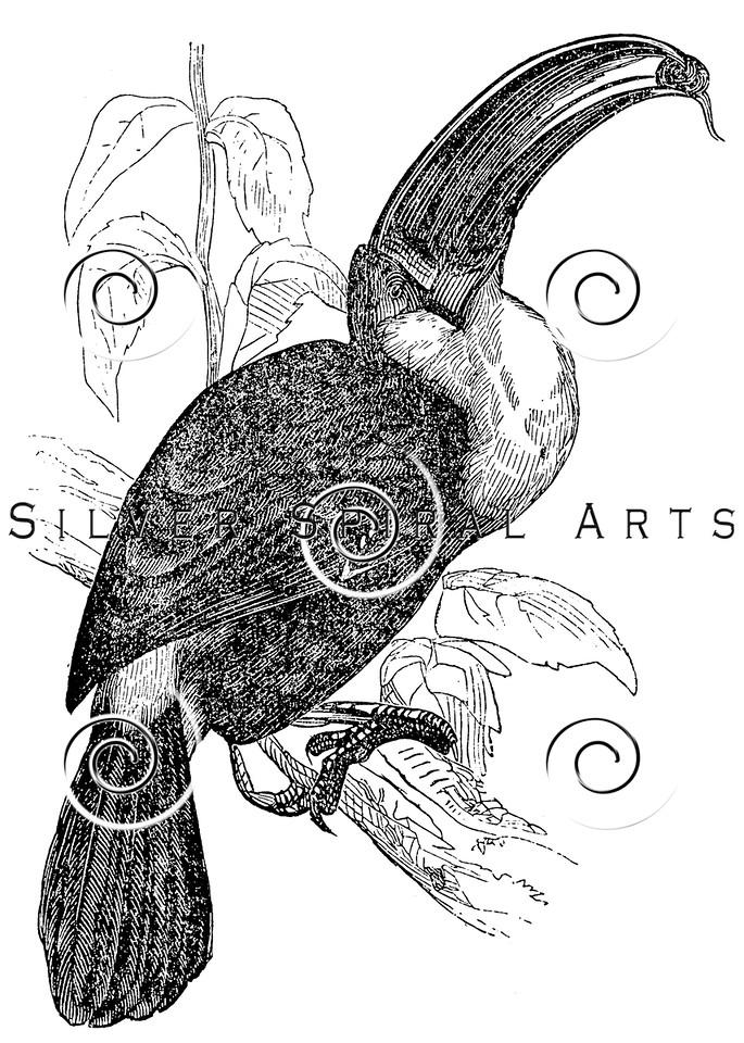 Vintage Toucan Birds Illustration - 1800s Toucans Bird Images