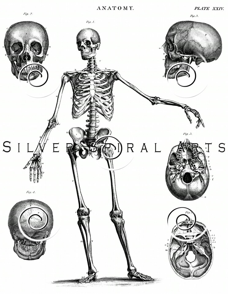 Skeleton Skull Steel Engraving print from THE ENCYCLOPEDIA BRITANNICA  by A & C Black, published in Edinburgh, Scotland in 1842. The natural patina, age-toning, imperfections, and old paper antiquing of this vintage 18th century illustration are preserved in this image.