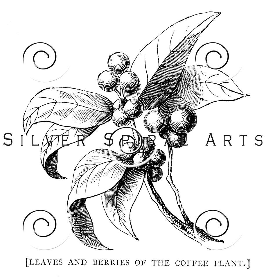Vintage Coffee Plant Botanical Illustration - 1800s Berries Images.