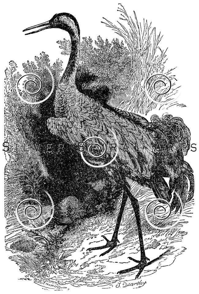 Vintage Cranes Bird Illustration - 1800s Crane Birds Images