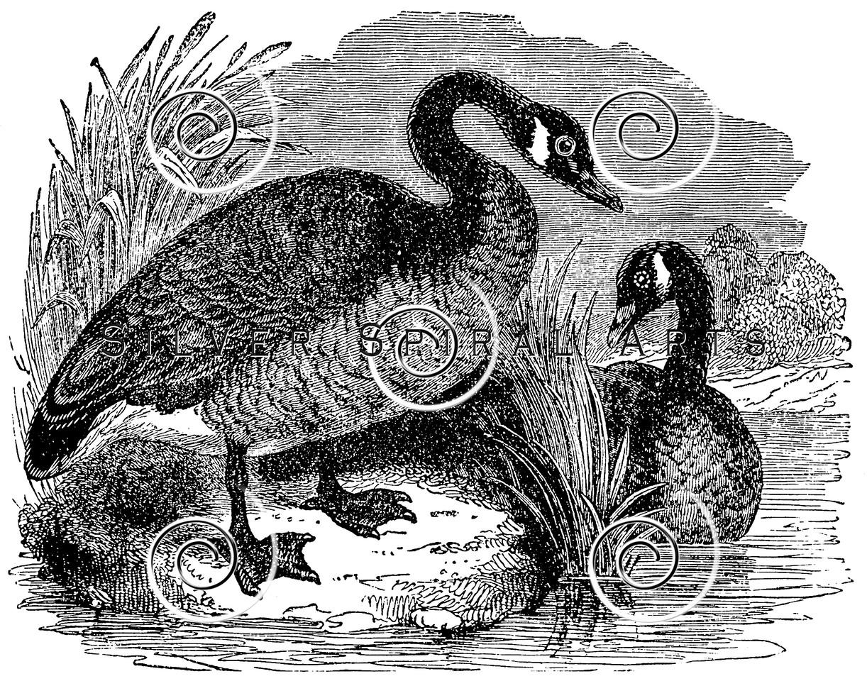 Vintage Goose Birds Illustration - 1800s Geese Bird Images