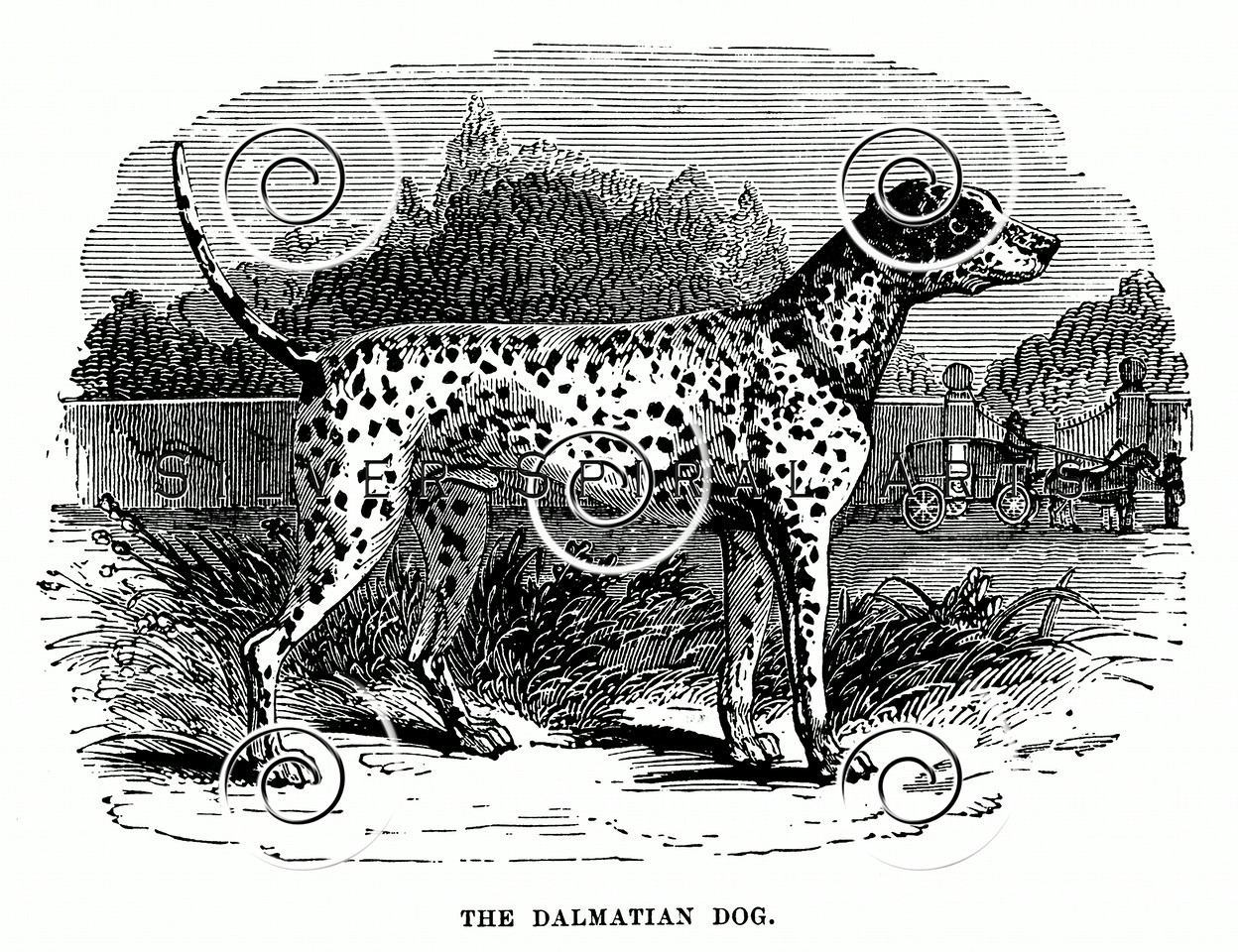 Vintage Dalmation Dogs Illustration - 1800s Dog Images