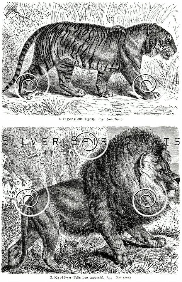 Vintage Lion and Tiger Illustration - Animals Images.