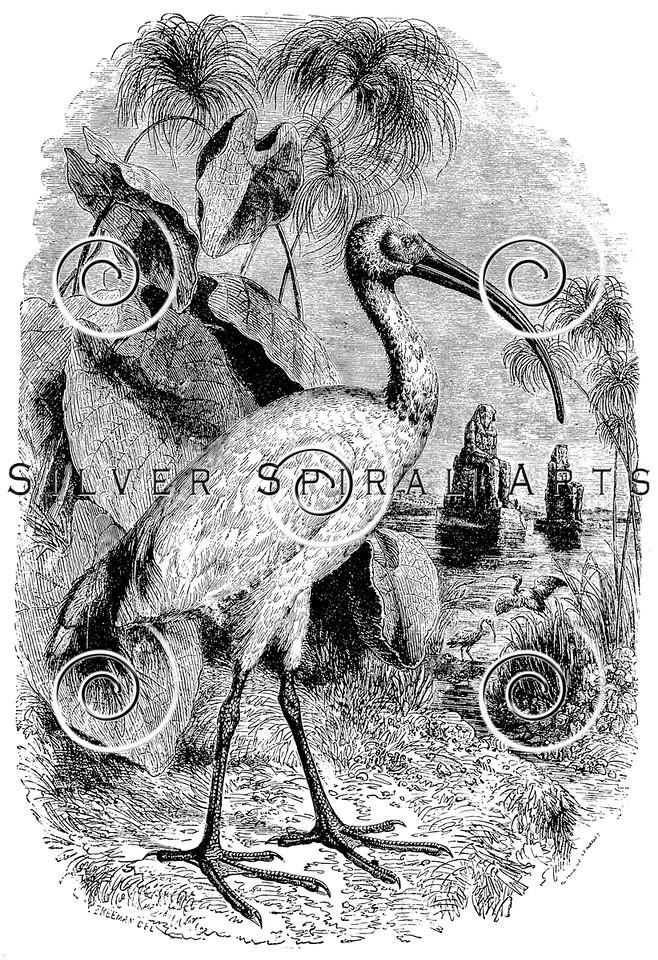 Vintage Ibis Birds Illustration - 1800s Ibises Birds Images
