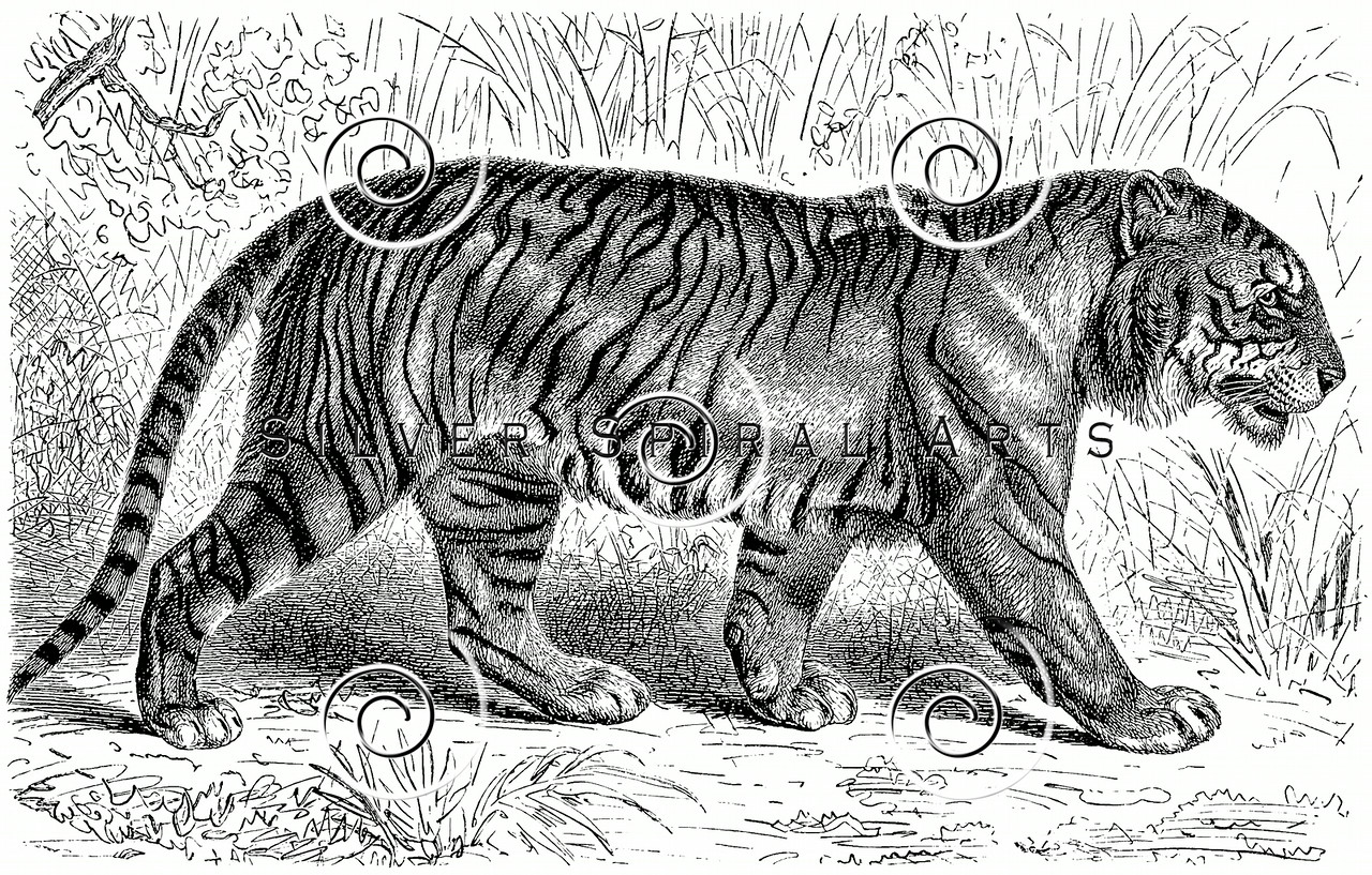 Vintage Tiger Illustration - 1800s Tigers Images.
