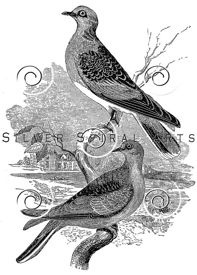 Vintage Doves Bird Illustration - 1800s Dove Birds Images