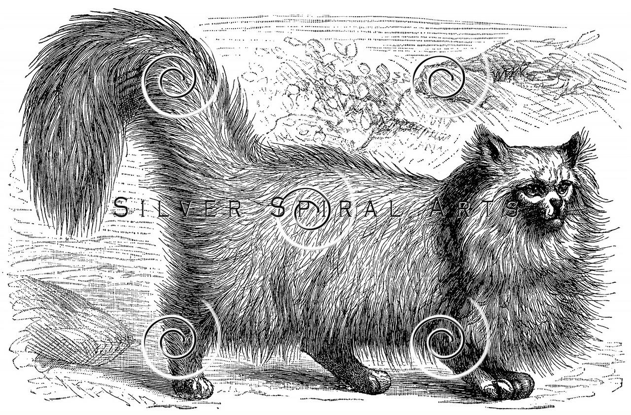 Vintage Angora Cat Illustration - 1800s Cats Images.