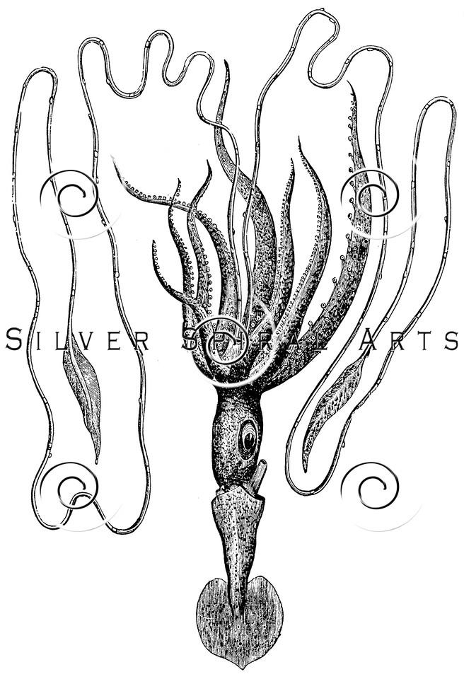 Vintage Squid Fish Illustration - 1800s Marine Squids Images