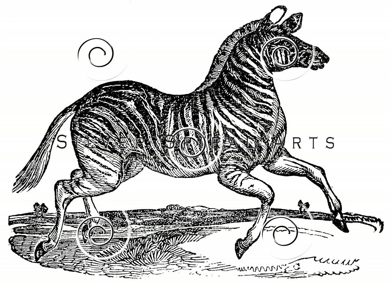 Vintage Zebra Illustration - 1800s Zebras Images.