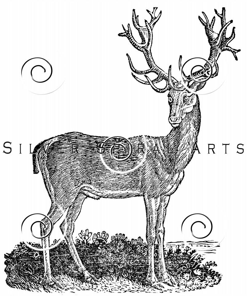 Vintage Deer Illustration - 1800s Stag Images.