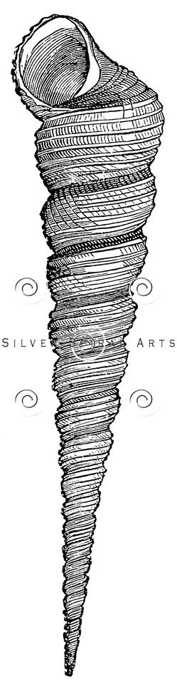 Vintage Sea Shells Illustration - 1800s Seashell Images