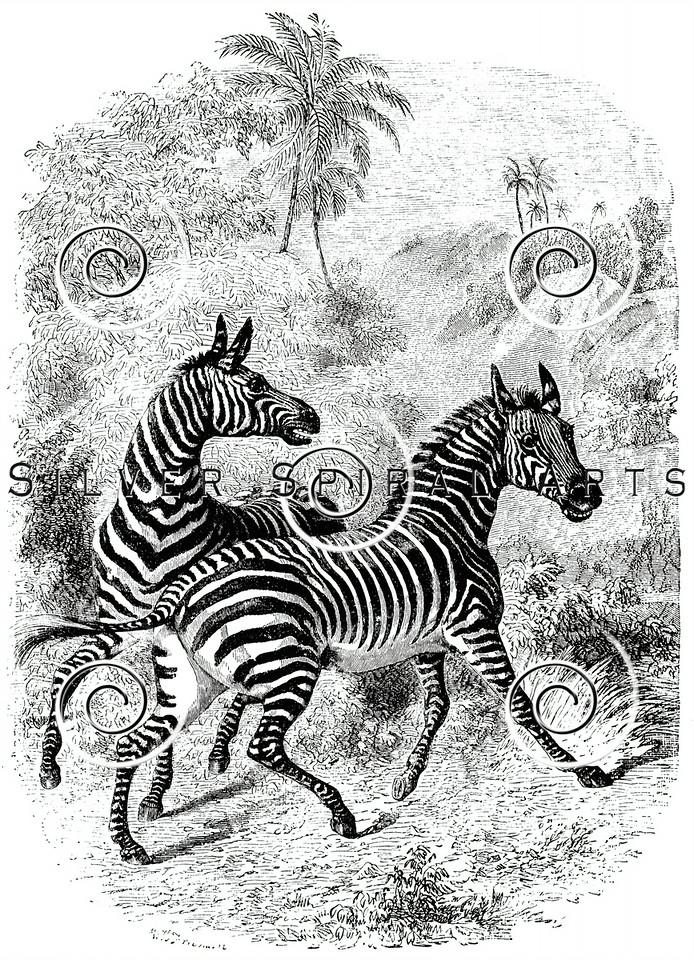 Vintage Zebras Illustration - 1800s Zebra Images