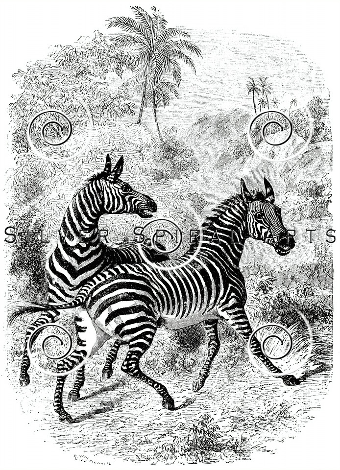 Vintage Zebras Illustration - 1800s Zebra Images