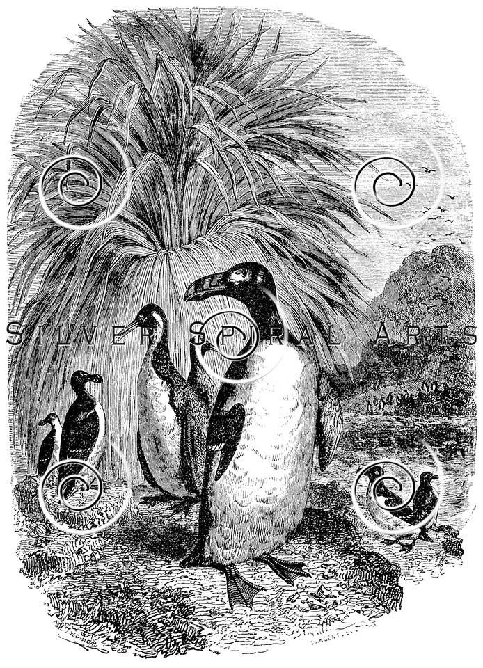 Vintage Puffin Birds Illustration - 1800s Razorbill Bird Images