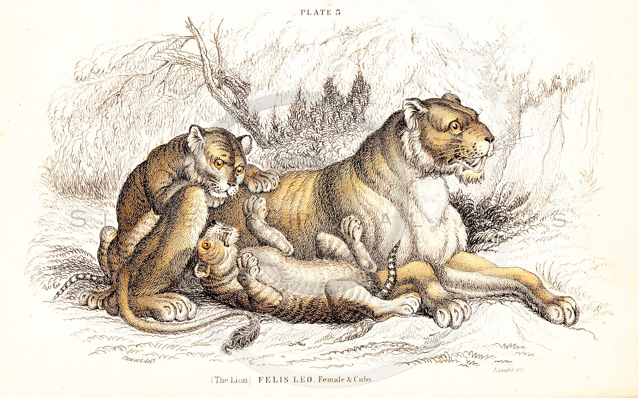 Vintage 1800s Color Illustration of Lions and Cubs from THE NATURALIST'S LIBRARY by William Jardine.  The natural patina, age-toning, imperfections, and old paper antiquing of this vintage 19th century illustration are preserved in this image.