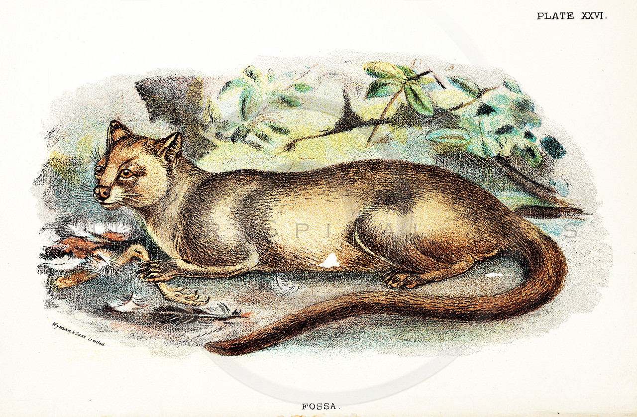 Vintage 1800s Color Animal Illustration - A HANDBOOK TO THE CARNIVORA by R.B. Sharpe.  The natural patina, age-toning, imperfections, and old paper antiquing of this vintage 19th century illustration are preserved in this image.