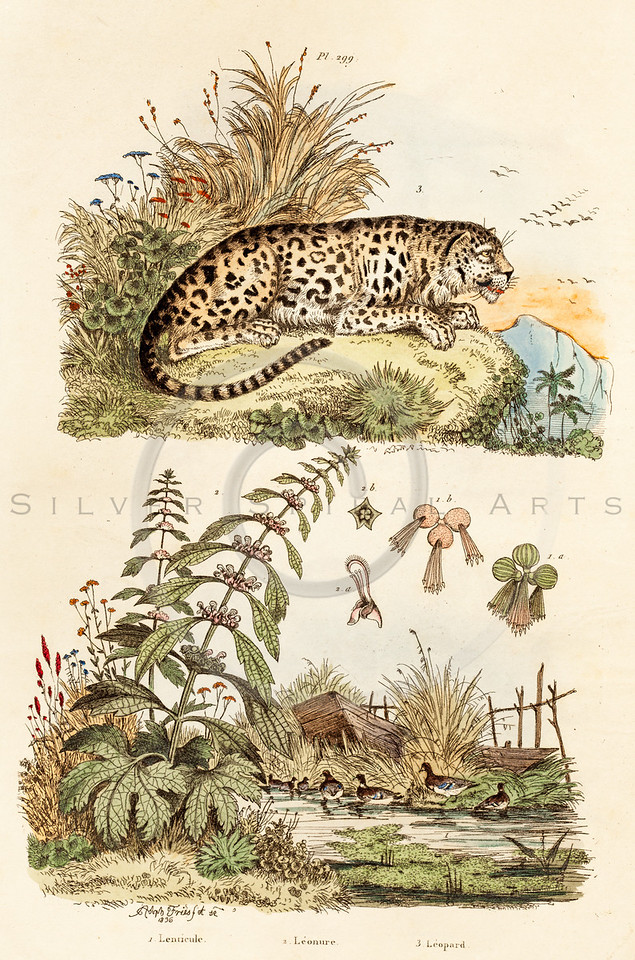 Vintage illustration of Leopard with Ducks from Guerin Natural History Prints, 1836. Antique digital download of old print - leopard, cat, feline, animal, wild, ducks, pond, plants, shrubs, nature.  The natural age-toning, paper stains, and antique printing imperfections are preserved in this 1800s stock image.