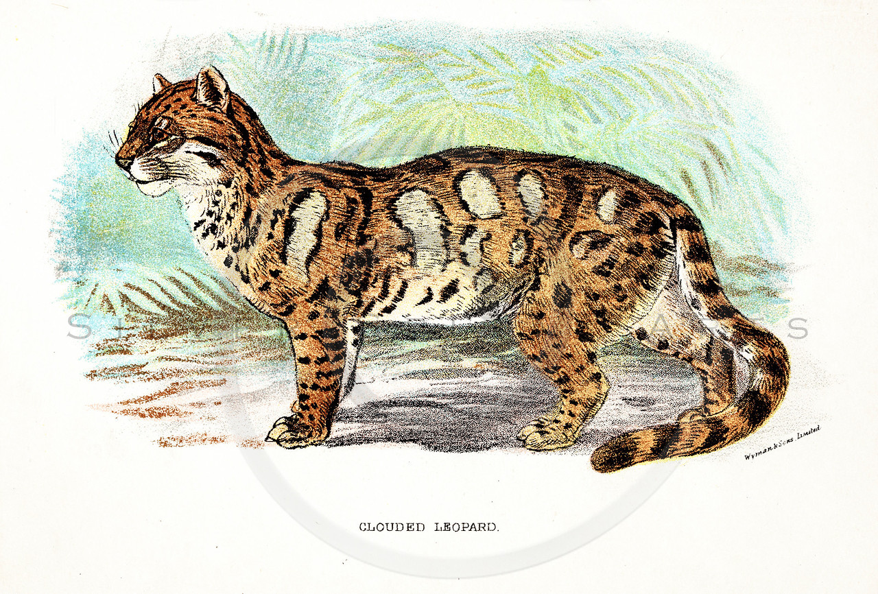 Vintage 1800s Color Illustration of a Clouded Leopard - A HANDBOOK TO THE CARNIVORA by R.B. Sharpe.  The natural patina, age-toning, imperfections, and old paper antiquing of this vintage 19th century illustration are preserved in this image.