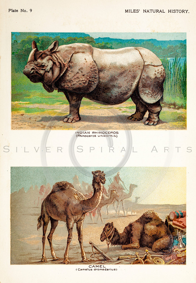 Vintage 1800s Color Illustration of Rhinoceros and Camel - FIVE HUNDRED FASCINATING ANIMAL STORIES by Alfred Miles.
