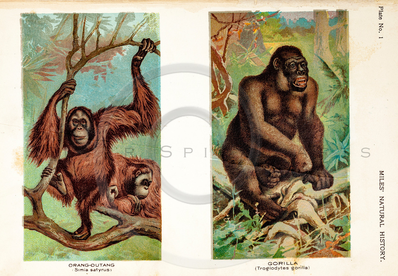 Vintage 1800s Color Illustration of Gorilla and Orangutans - FIVE HUNDRED FASCINATING ANIMAL STORIES by Alfred Miles, 1810