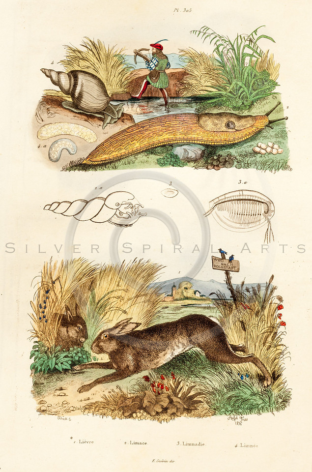Vintage illustration of Slugs, Snails, and Hare from Guerin Natural History Prints, 1836. Antique digital download of old print - bunny, rabbit, hare, snail, slugs, rodent, reptile, animals, wild, nature.  The natural age-toning, paper stains, and antique printing imperfections are preserved in this 1800s stock image.