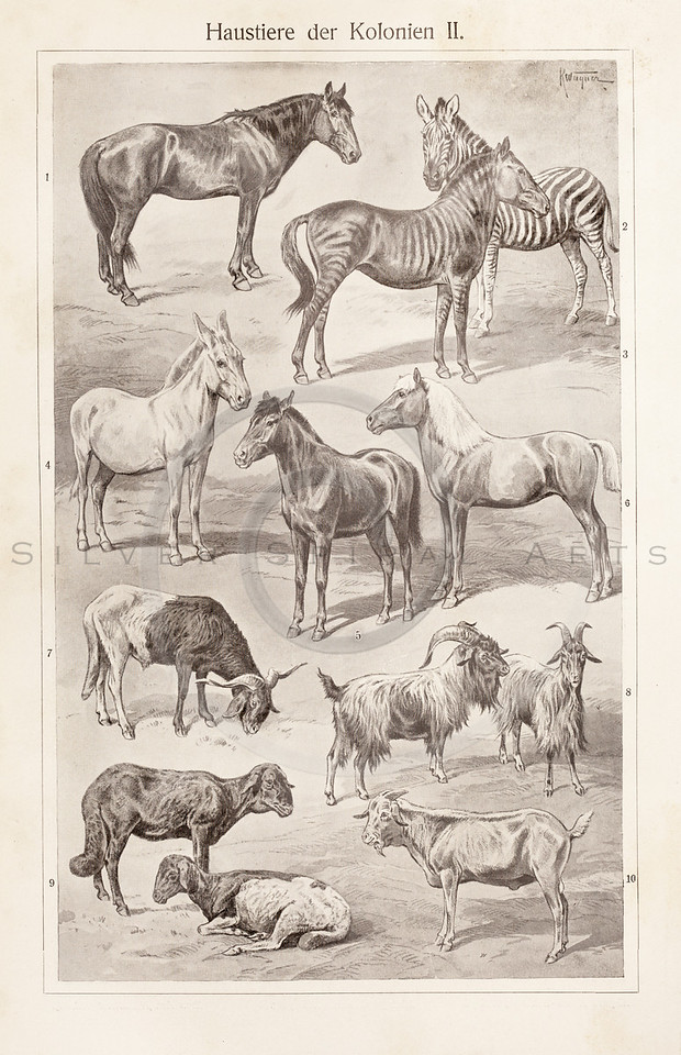 Vintage sepia illustration of Equines and goats from Meyers Konversations Lexikon 1913 Encyclopedia. Antique digital download of old print - equines; horses; zebras; donkeys; goats; mammals; animals; farm; agriculture.  The natural age-toning, paper stains, and antique printing imperfections are preserved in this 1900s stock image.