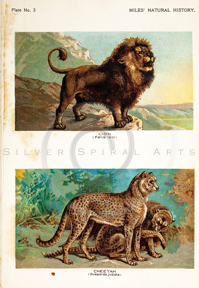Vintage 1800s Color Illustration of Cheetah and Lion - FIVE HUNDRED FASCINATING ANIMAL STORIES by Alfred Miles.