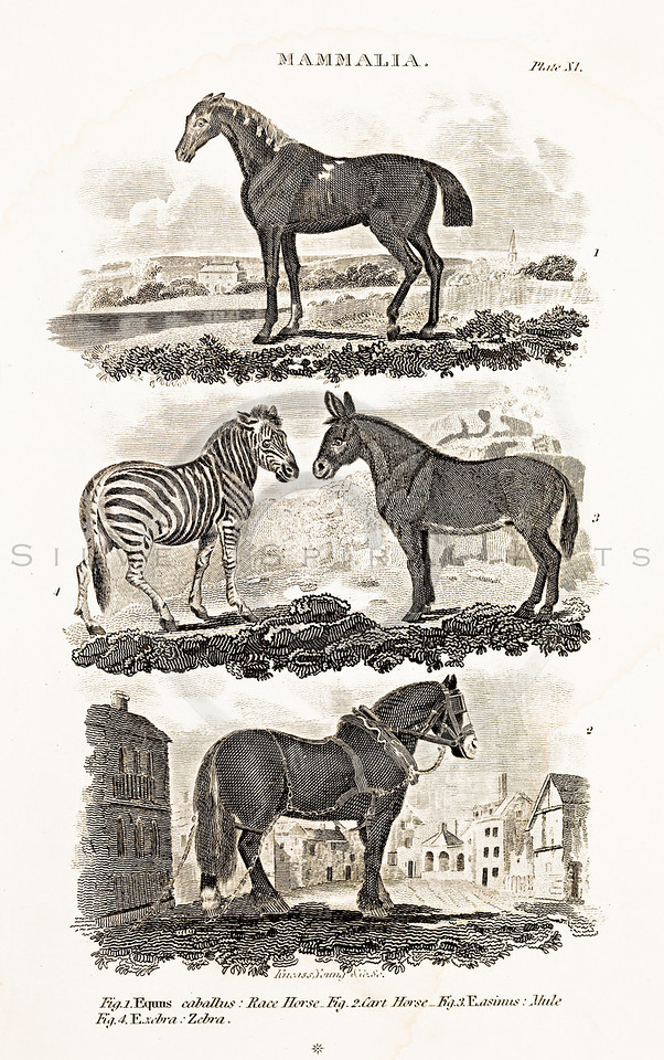Vintage 1800s animal illustration-- copper engraving from BRITISH ENCYCLOPEDIA by William Nickolson in Philadelphia in 1819