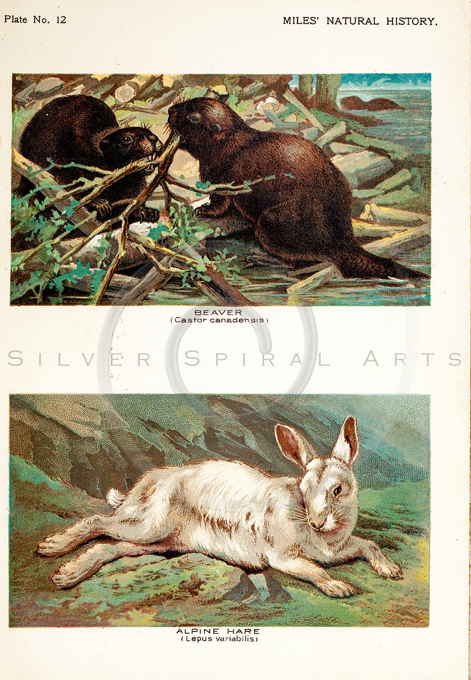 Vintage 1800s Color Illustration of Alpine Hare and Beavers - FIVE HUNDRED FASCINATING ANIMAL STORIES by Alfred Miles.