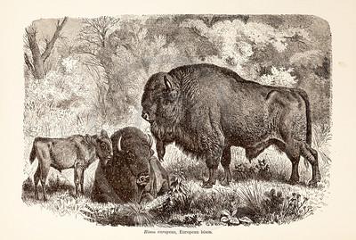 Vintage 1800s Sepia Illustration of Wild Bison  - ANIMATED CREATIONS, J.G. Wood.