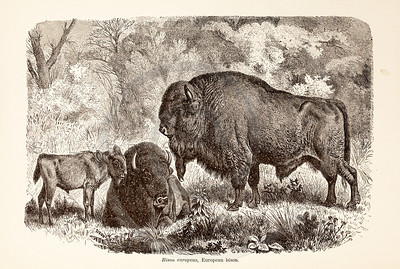 Vintage 1800s Sepia Illustration of Wild Bison  - ANIMATED CREATIONS, J.G. Wood.