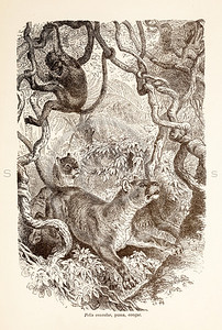 Vintage 1800s Sepia Illustration of Wild Cougars  - ANIMATED CREATIONS, J.G. Wood.