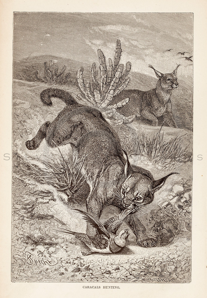 Vintage 1800s Sepia Illustration of Caracals Hunting.