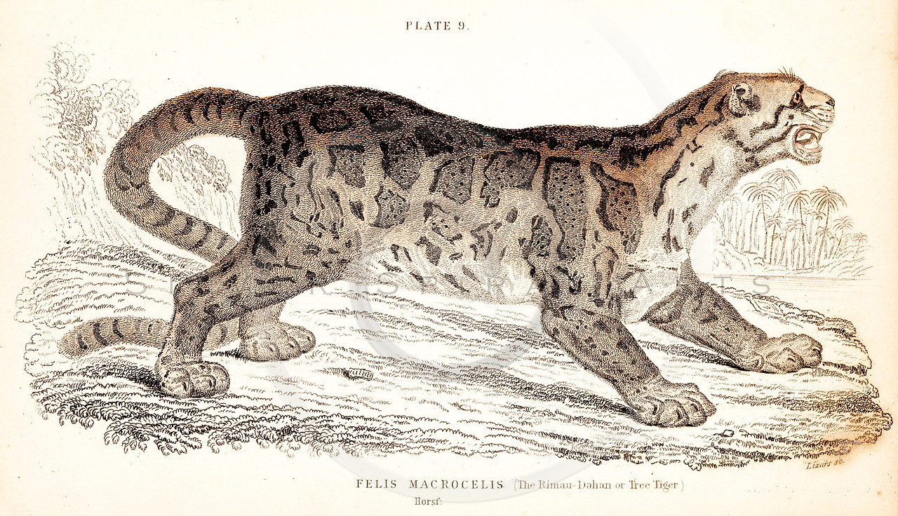 Vintage 1800s Color Illustration of a Tree Tiger from THE NATURALIST'S LIBRARY by William Jardine.  The natural patina, age-toning, imperfections, and old paper antiquing of this vintage 19th century illustration are preserved in this image.