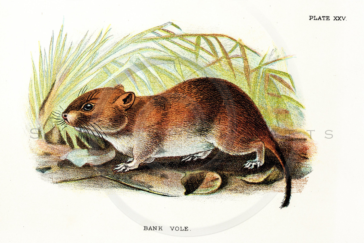 Vintage 1800s Color Vole Illustration - A HANDBOOK TO THE CARNIVORA by R.B. Sharpe.  The natural patina, age-toning, imperfections, and old paper antiquing of this vintage 19th century illustration are preserved in this image.